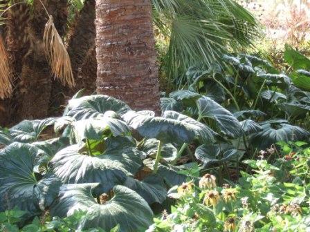 Farfugium japonicum = Ligularia kaempferi Dscf0828