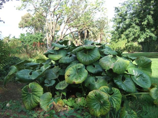 Farfugium japonicum = Ligularia kaempferi Dscf0830