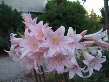 Amaryllis belladona Dscf0859