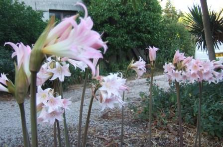 Amaryllis belladona Dscf0860