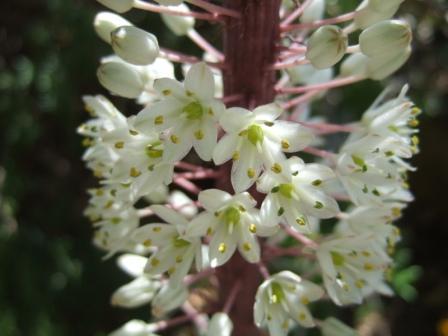 Urginea maritima, Gomphocarpus fruticosus, Firmiana simplex [devinette] Dscf1013