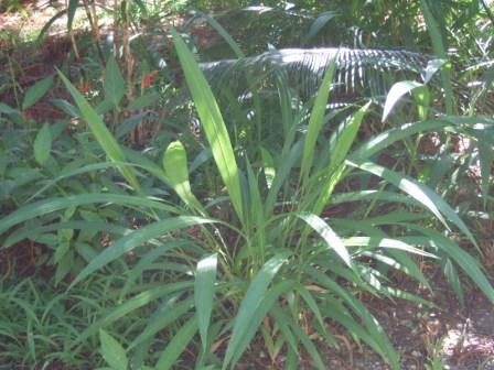 Setaria palmifolia - sétaire à feuilles de palmier Dscf1014