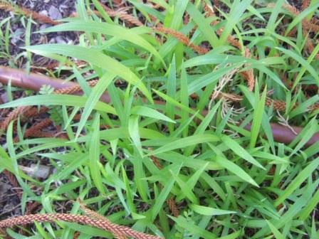 Setaria palmifolia - sétaire à feuilles de palmier Dscf1015