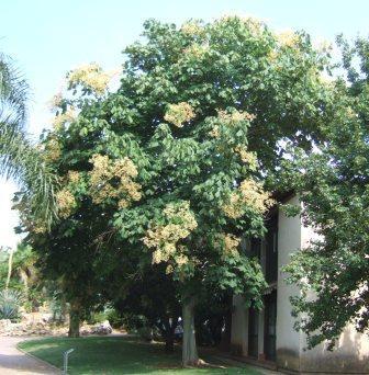 Urginea maritima, Gomphocarpus fruticosus, Firmiana simplex [devinette] Dscf5310