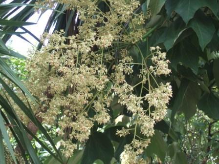 Urginea maritima, Gomphocarpus fruticosus, Firmiana simplex [devinette] Dscf5410