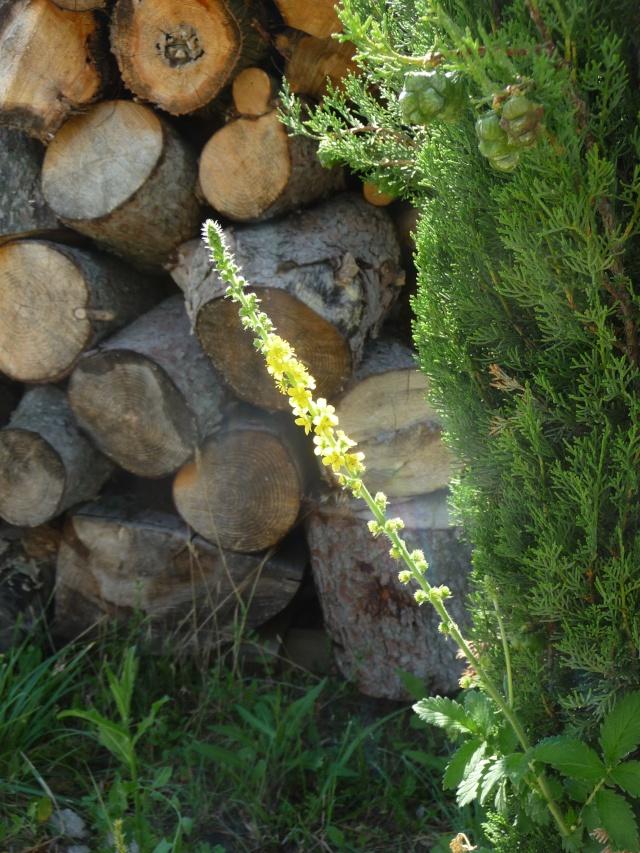 Fleur jaune en épis à identifier : Aigremoine P1180612