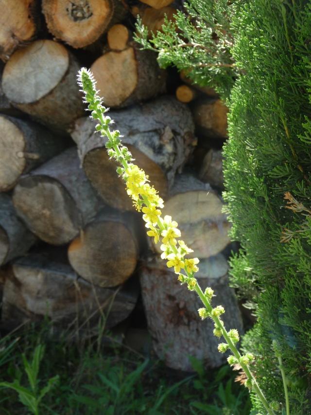 Fleur jaune en épis à identifier : Aigremoine P1180613