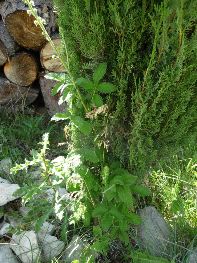 Fleur jaune en épis à identifier : Aigremoine P1180614