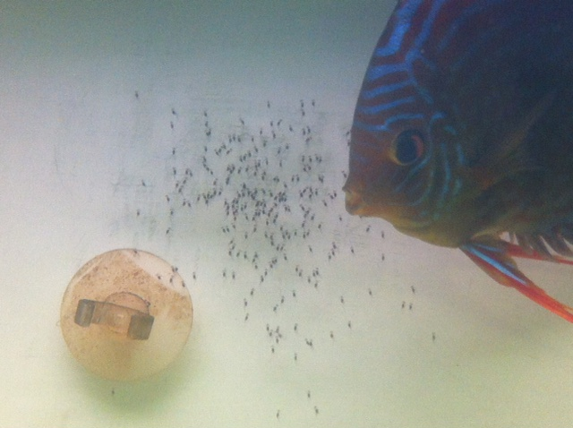 repro discus de ce week end  Photo_24