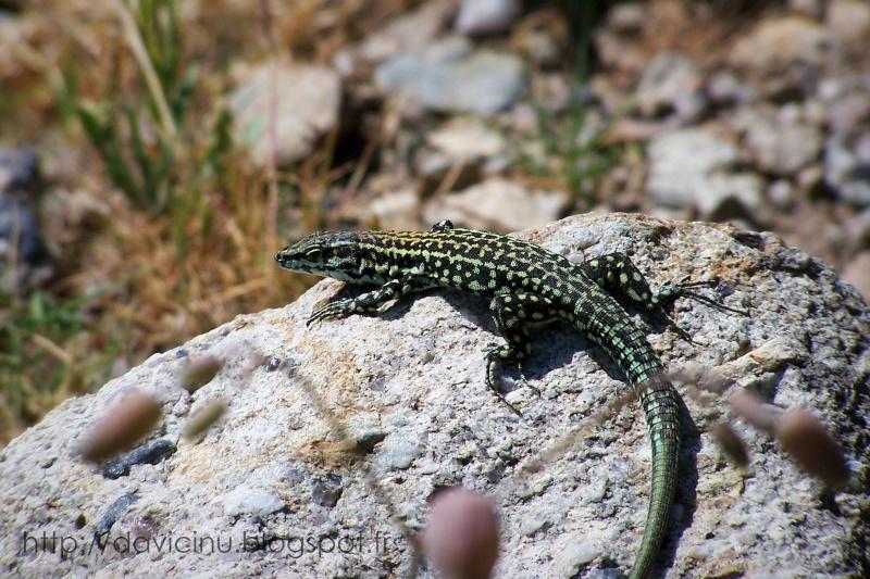 Buciartule di Corsica 028-le17