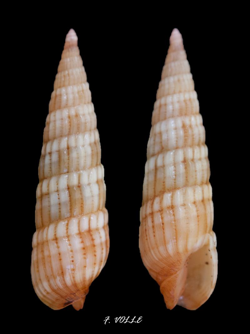 Myurella affinis - (Gray, 1834)  - Page 2 12_7mm10