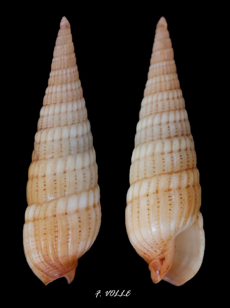 Myurella affinis - (Gray, 1834)  - Page 2 14_2mm10