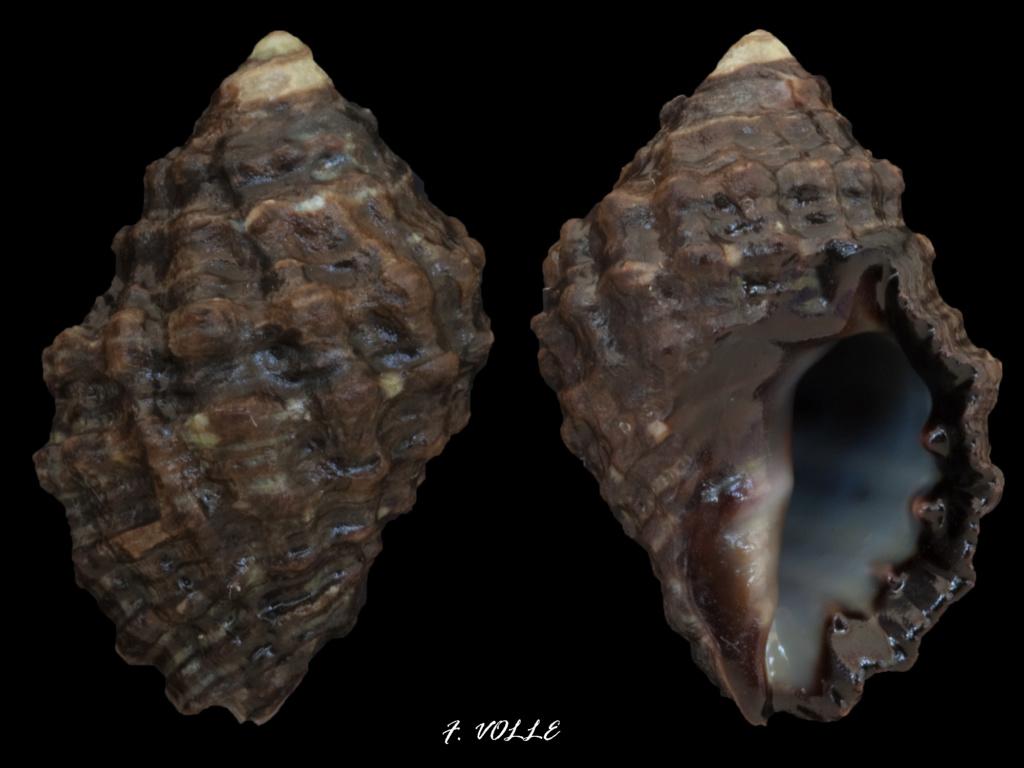 Tenguella granulata - (Duclos, 1832) 21_8mm10