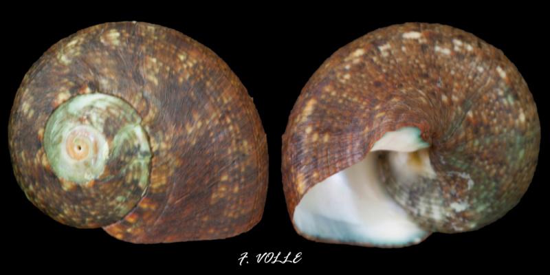 Lunella cinerea - (Born, 1778) 23mm_m10