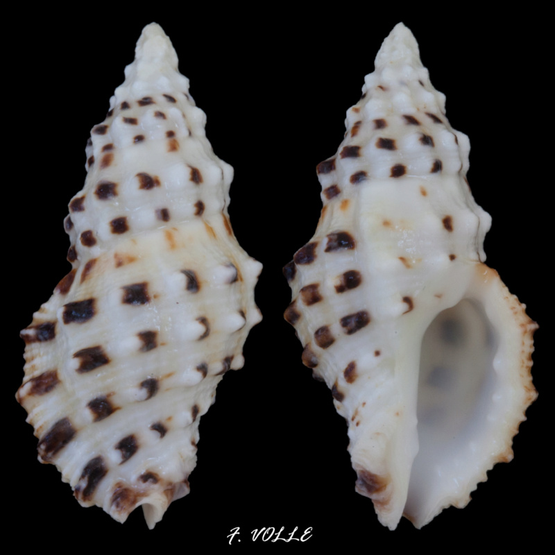 Drupella rugosa (Born, 1778) 28_6mm10