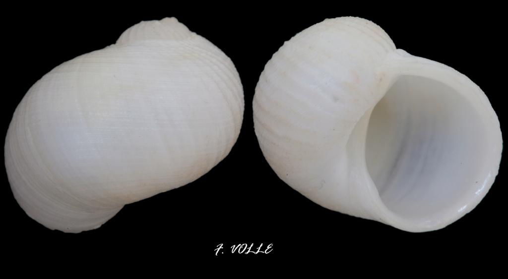 Vanikoro helicoidea (Guillou, E. Le, 1842) Vaniko10
