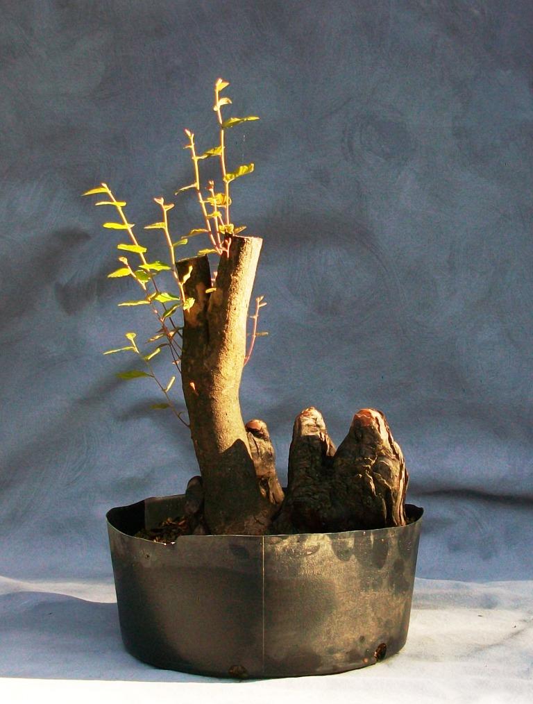 """Water-elm """"root around cypress knees"""" Water-10"""