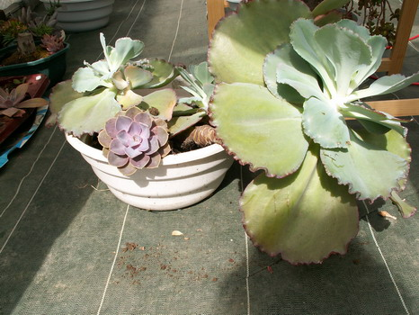 Echeveria gigantea et variabilité Echeve11