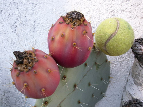 Opuntia robusta Fruits10
