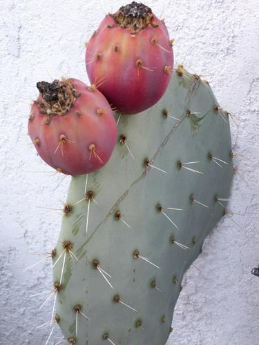 Opuntia robusta Fruits11