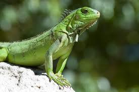 REPTILES NATURE Iguane10