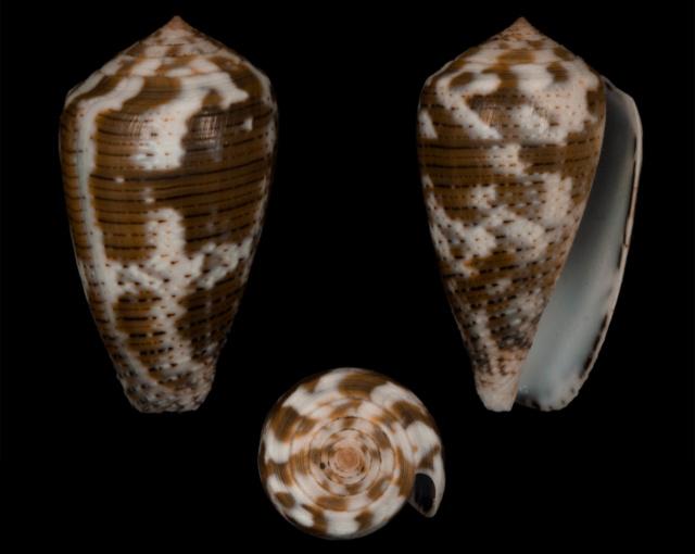 Conus (Pionoconus) striolatus (Kiener, 1848) - Page 2 Co02810