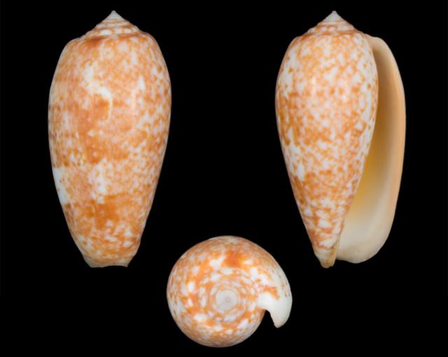 Conus (Textilia) bullatus   Linnaeus, 1758 - Page 3 Co09510