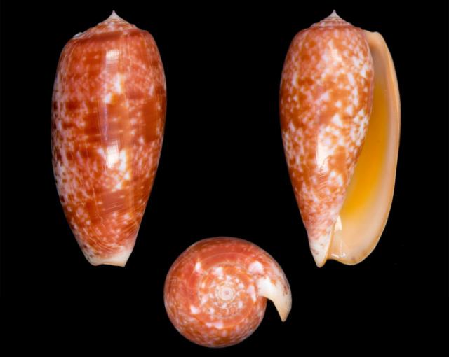 Conus (Textilia) bullatus   Linnaeus, 1758 - Page 3 Co16110