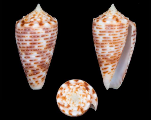 Conus (Phasmoconus) cebuensis Wils, 1990 - Page 3 Co17110
