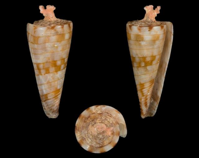 Conasprella (Boucheticonus) kimioi  (Habe, 1965) Co32610