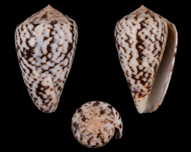 Conus_ermineus Co71210