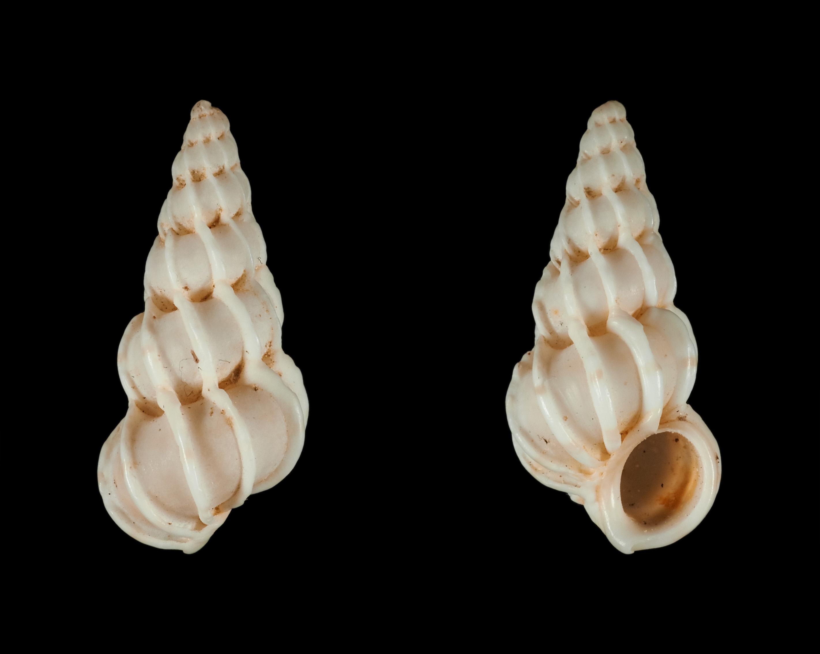 Epitonium clathrus (Linnaeus, 1758) Ep00810