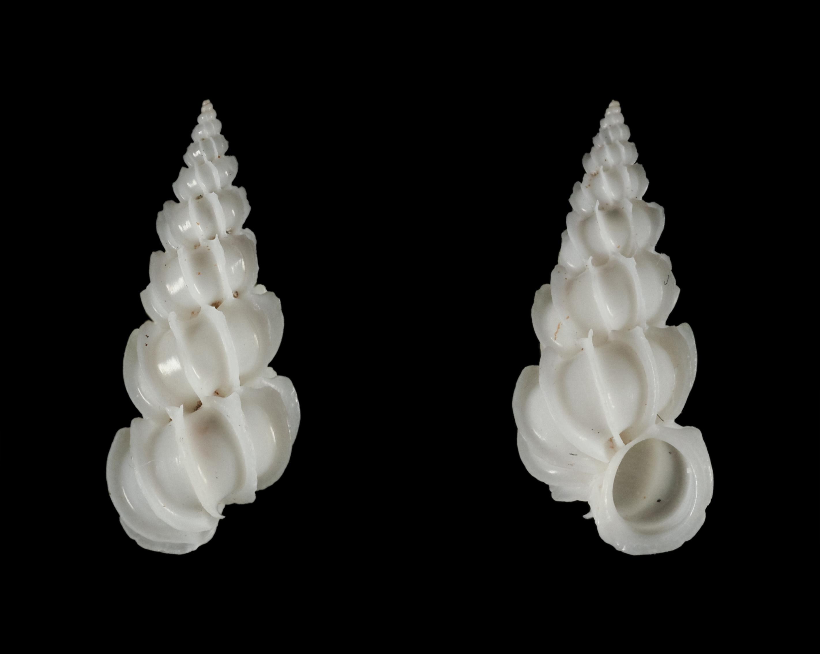 Epitonium foliaceicosta (d'Orbigny, 1842) Ep01210