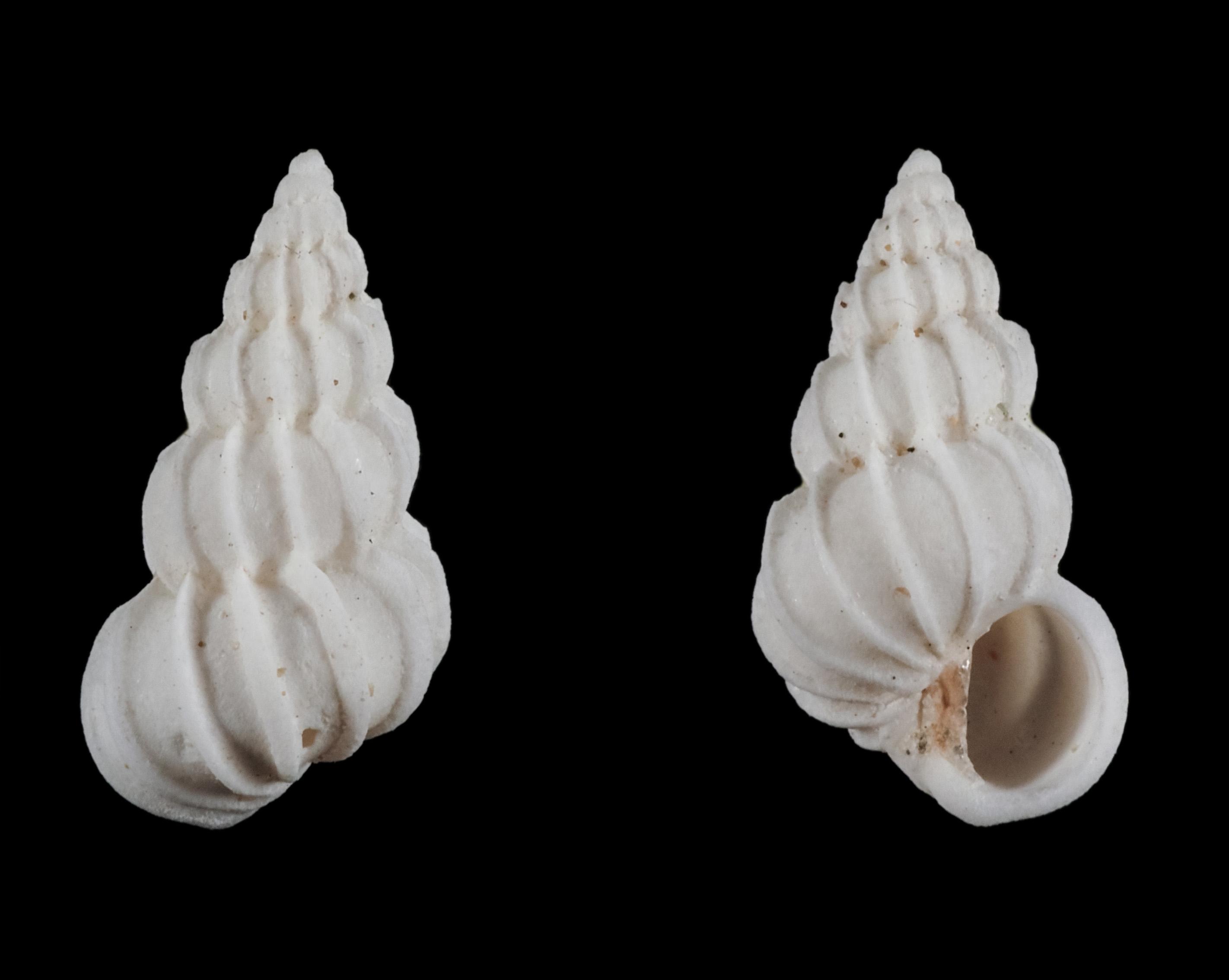 Epitonium obtusum - (G. B. Sowerby, 1844) Ep01310