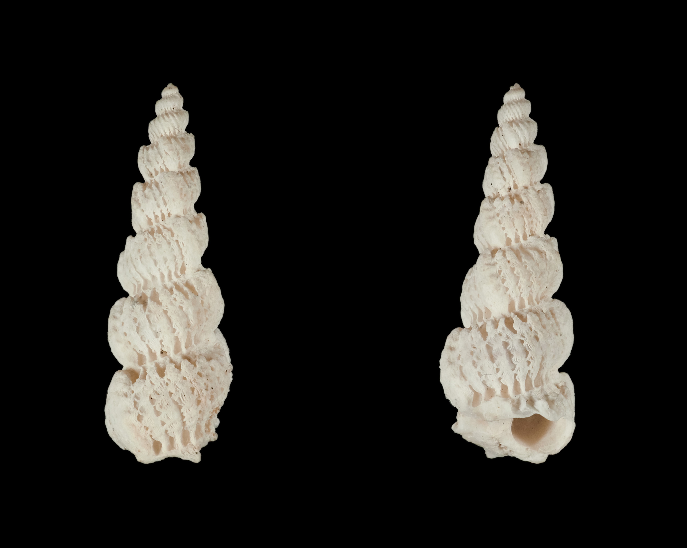 Cirsotrema dalli - Rehder, 1945 Ep02310