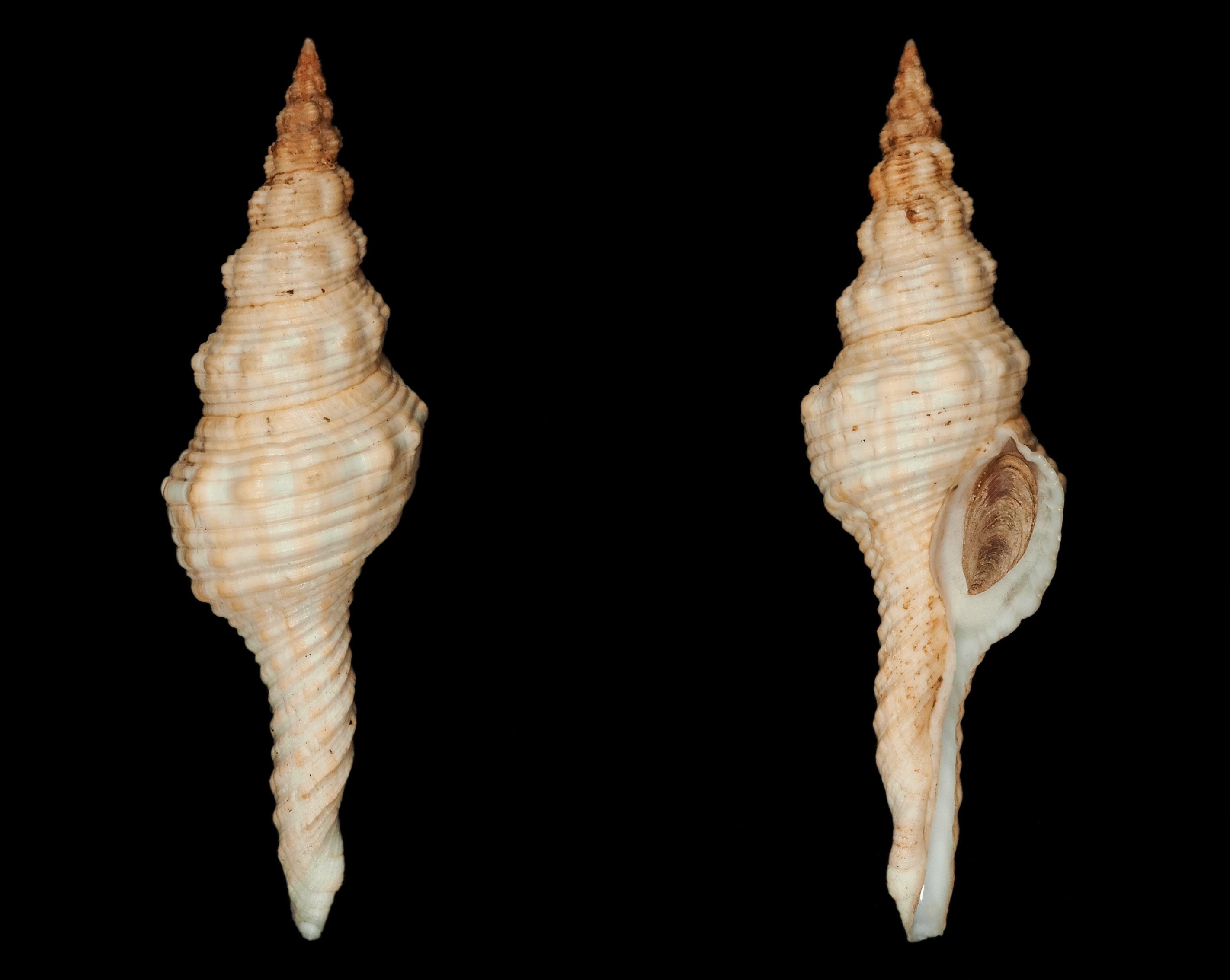 Fusinus laticostatus - (Deshayes, 1830)  Fa00211