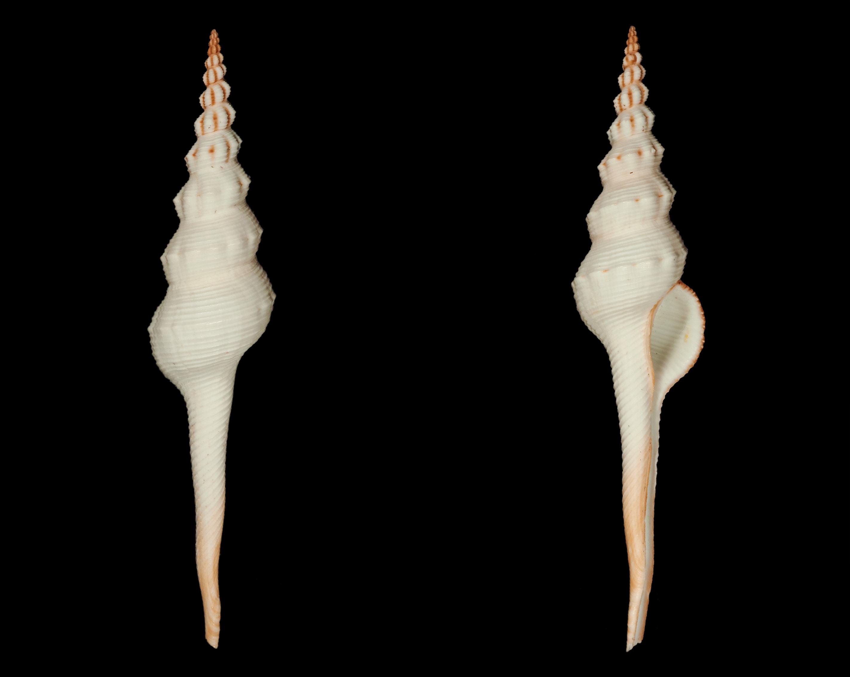 Fusinus colus - (Linnaeus, 1758) Fa00411