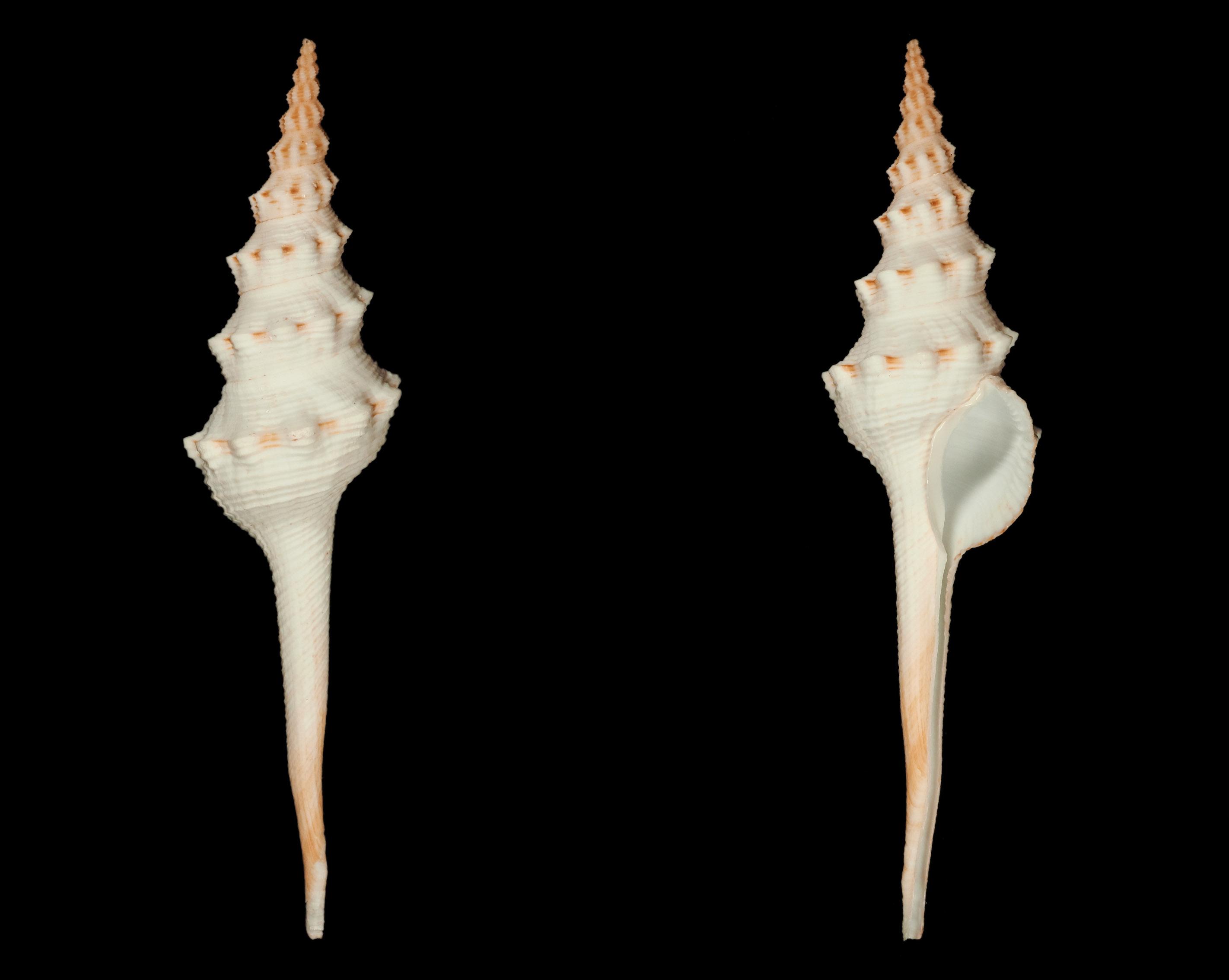 Fusinus colus - (Linnaeus, 1758) Fa00511