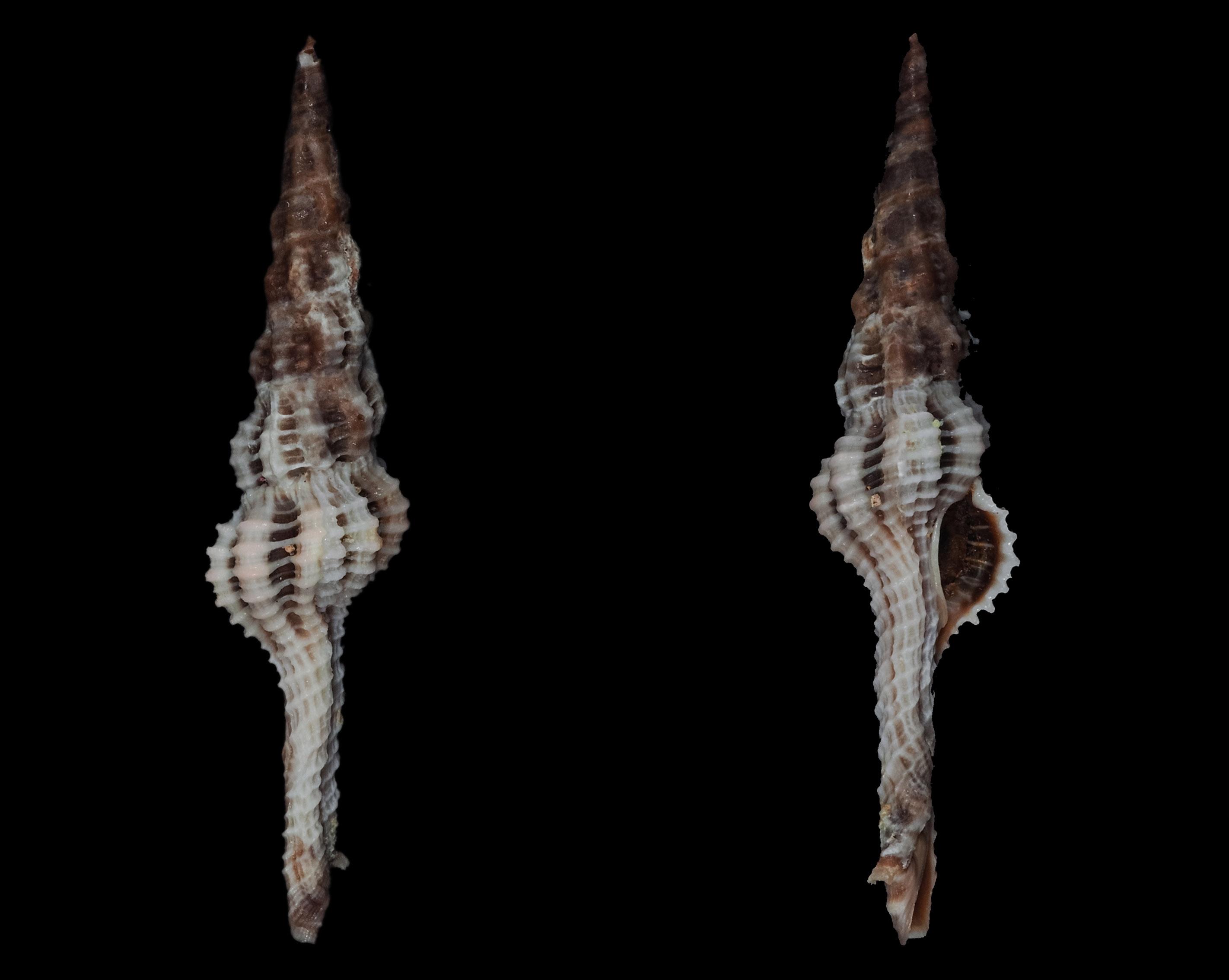 Dolicholatirus lancea - (Gmelin, 1791) Fa01312