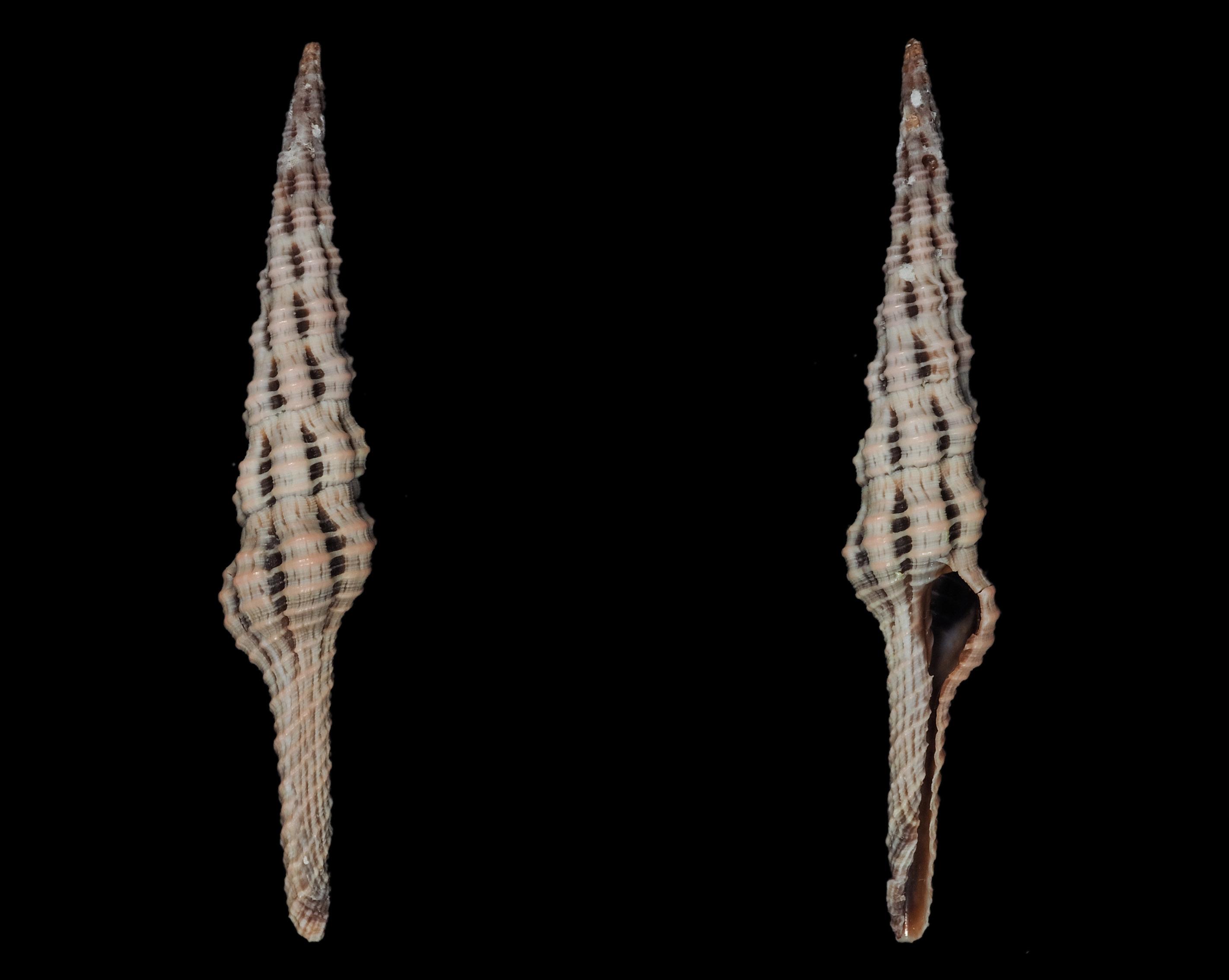 Dolicholatirus lancea - (Gmelin, 1791) Fa01411