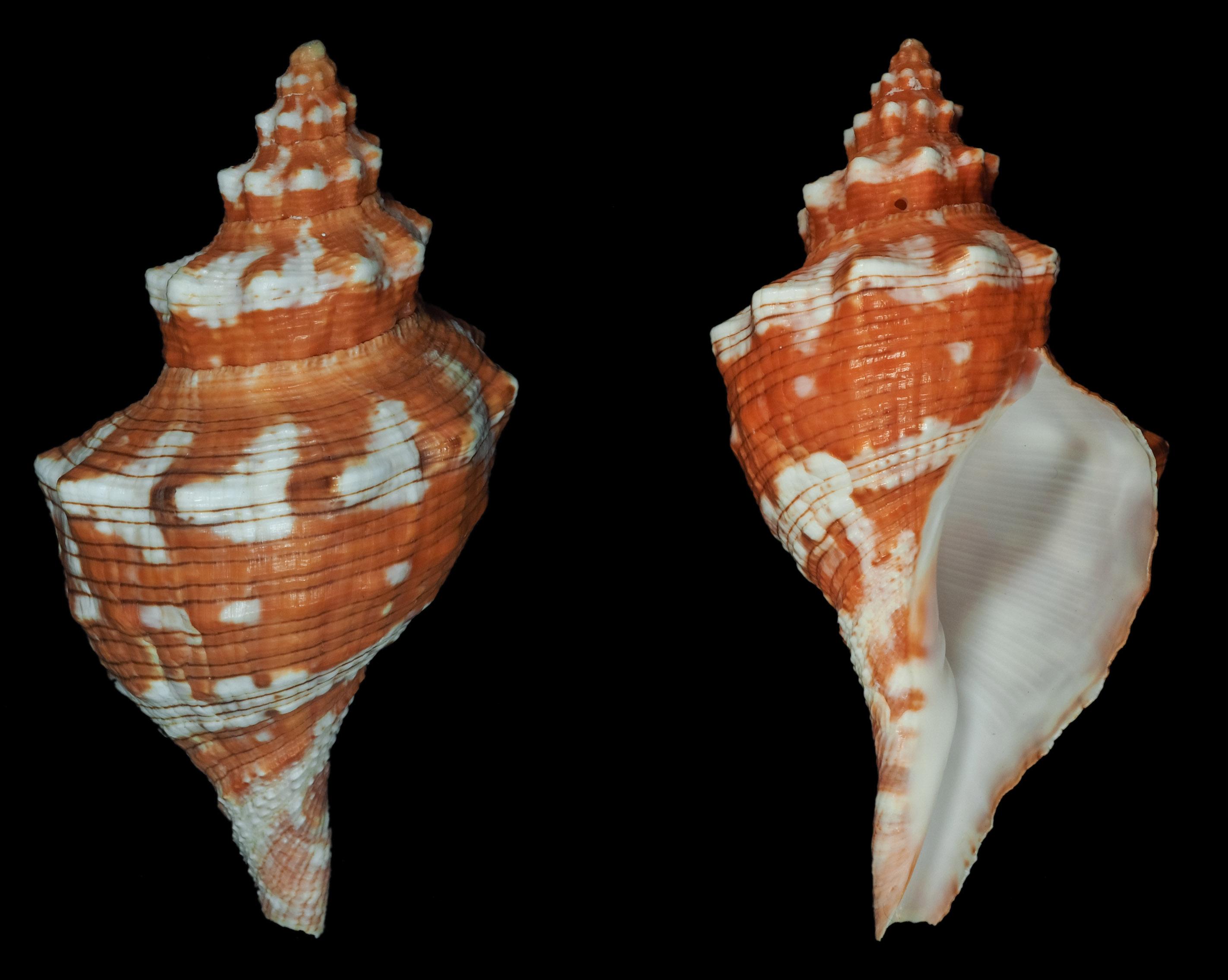 Aurantilaria aurantiaca - (Lamarck, 1816)  Fa01711