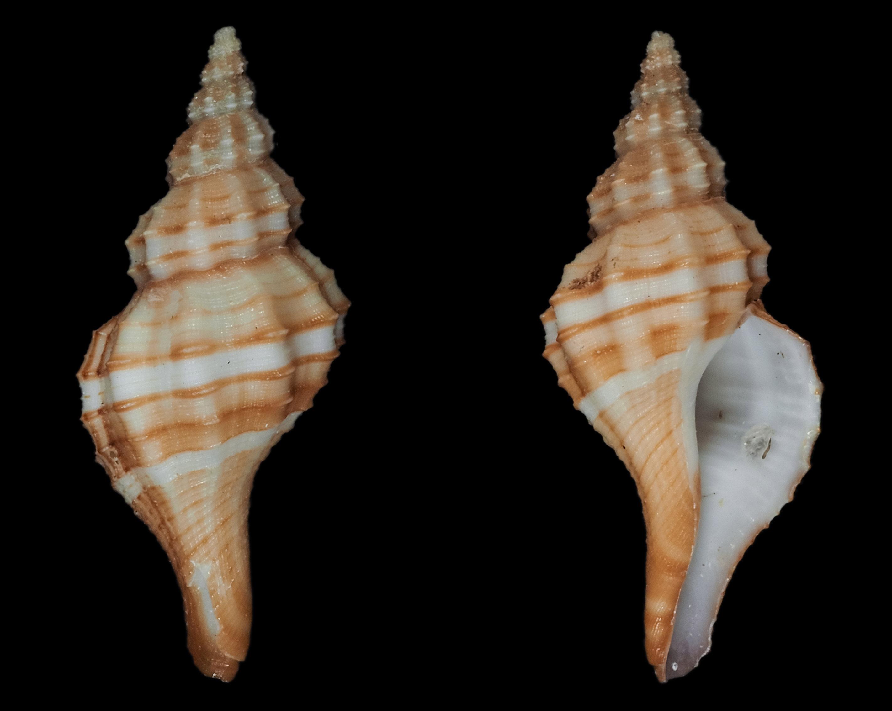 Granulifusus dondani - M. A. Snyder, 2003  Fa01911