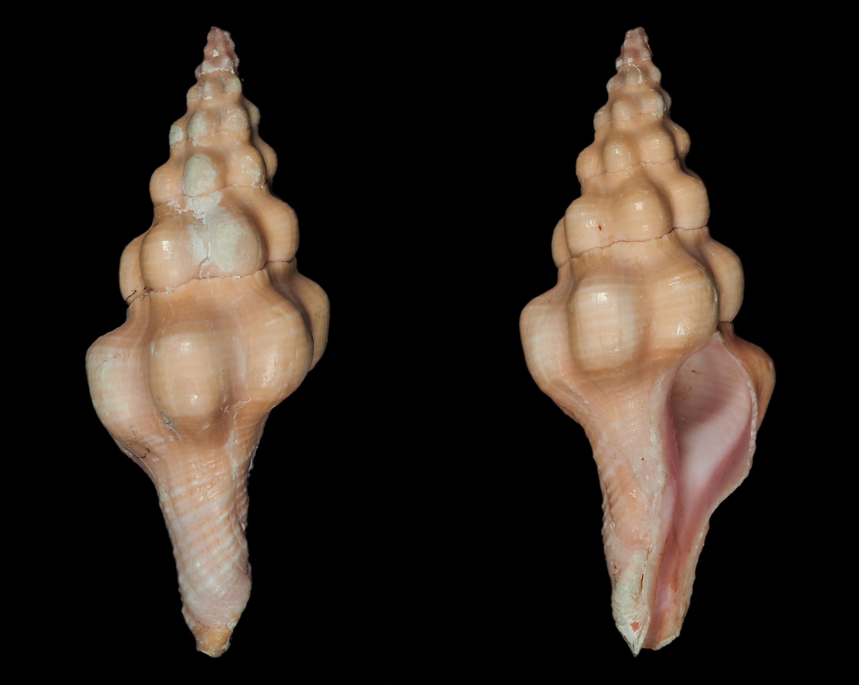 Nodolatirus nodatus - (Gmelin, 1791)  Fa02110