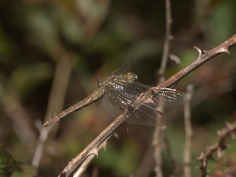 Guide des libellules Wendler et Nuss 11081010