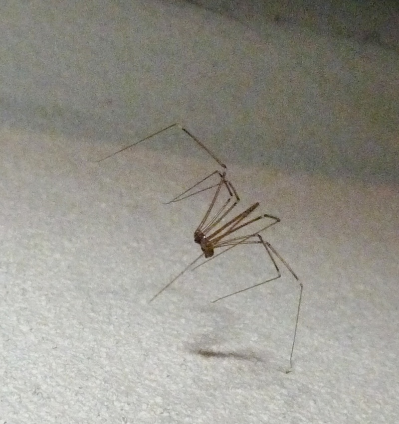 Comment s'appelle cette araignée ? P1050317