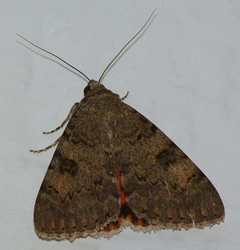 [Catocala puerpera](Noctuidae Catocalinae) Lichenée rouge P1050410