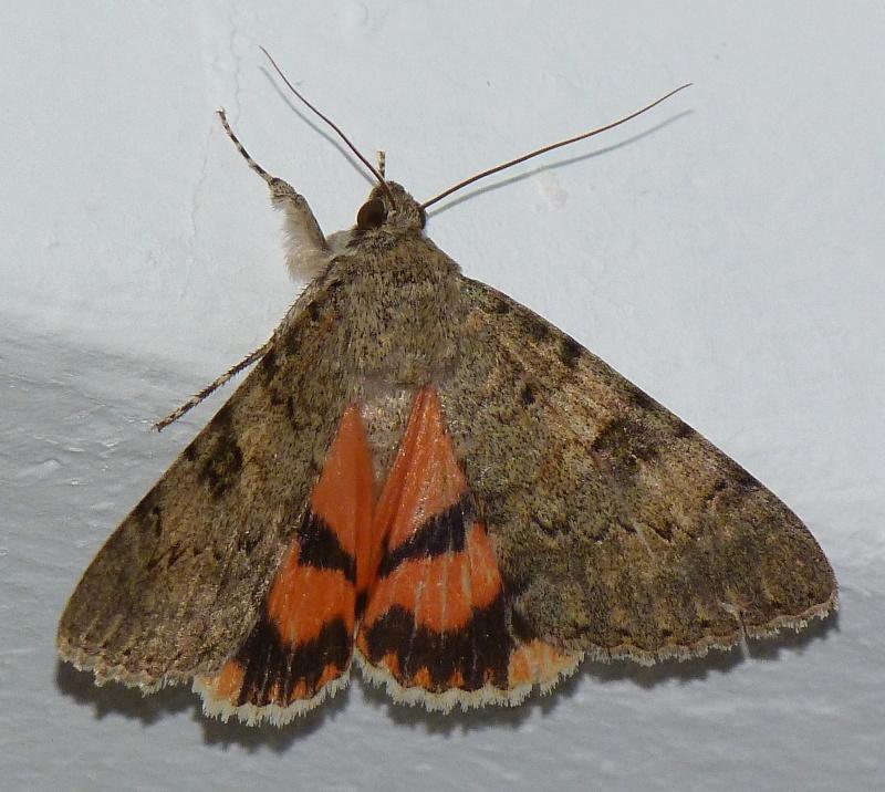 [Catocala puerpera](Noctuidae Catocalinae) Lichenée rouge P1050411