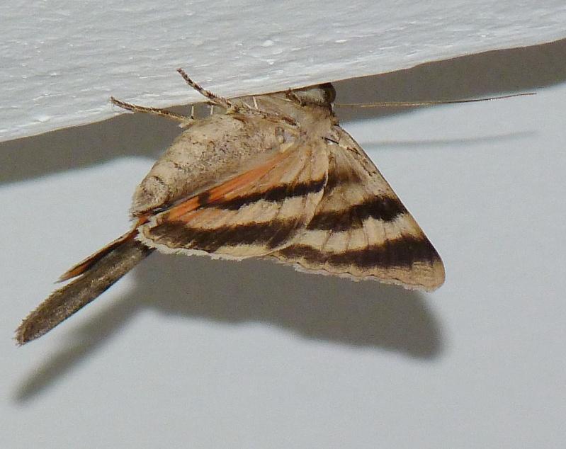 [Catocala puerpera](Noctuidae Catocalinae) Lichenée rouge P1050412