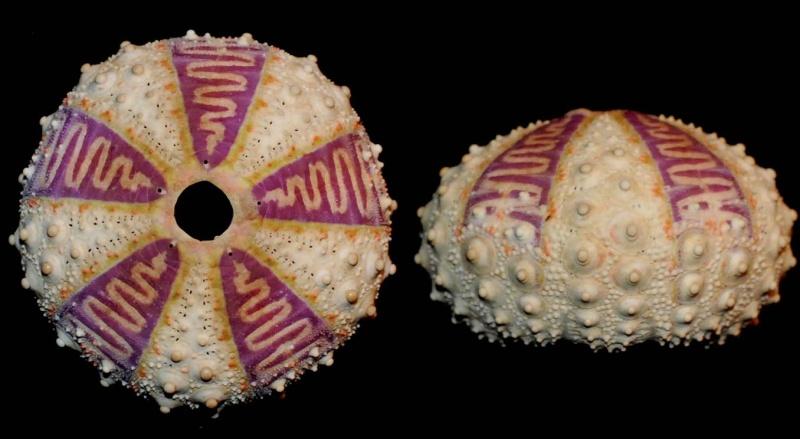 Arbacioida - Arbaciidae - Coelopleurus exquisitus Coppard & Schultz, 2006 Coelop10