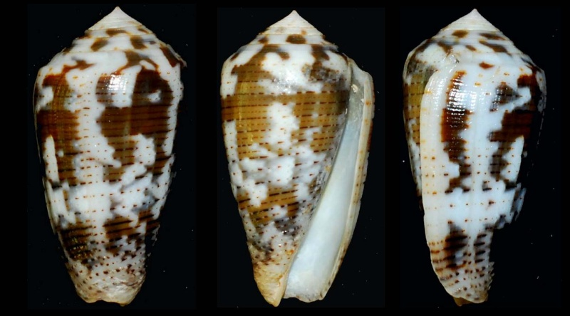 Conus (Pionoconus) striolatus (Kiener, 1848) Conus_11